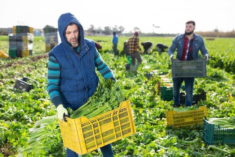 Mehrere Erntehelfer bei der Arbeit, sie sind oft von Lohndumping betroffen